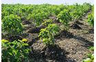 Jatropha als Biodieselbasis